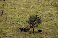 Ostrich in the Loelle savanna at rain season. The Boma-Jonglei Landscape in Southern Sudan is perhaps home of the largest wild life migration in the planet, equal or bigger then that on the Serengeti.  (PHOTO: MIGUEL JUAREZ LUGO).