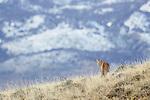 Patagonia's Pumas