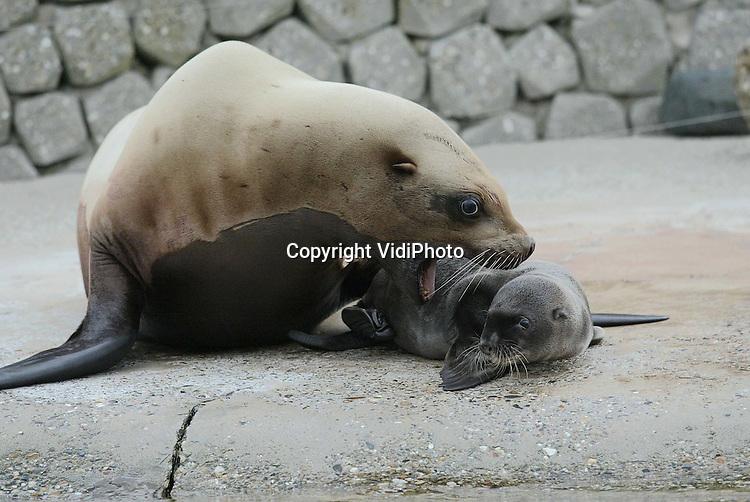 Foto: VidiPhoto..HARDERWIJK - In het Dolfinarium in Harderwijk is maandagochtend een Steller zeeleeuwtje geboren. Steller zeeleeuwen zijn de grootste zeeleeuwensoort. Geboorte van een jong in gevangenschap is geen alledaagse gebeurtenis. Volwassen mannetjes kunnen zo'n 1000 kilo worden, net zo zwaar als een kleine auto. Het geslacht van het jong is nog niet bekend. Steller Zeeleeuwen kunnen na de geboorte direct zwemmen, maar blijven de eerste periode op de kant en worden regelmatig gezoogd en door de moeder beschermd. Foto: Luisteren naar moeder.
