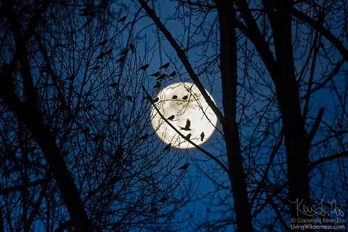 Crows in Trees at Moonrise, Bothell, Washington