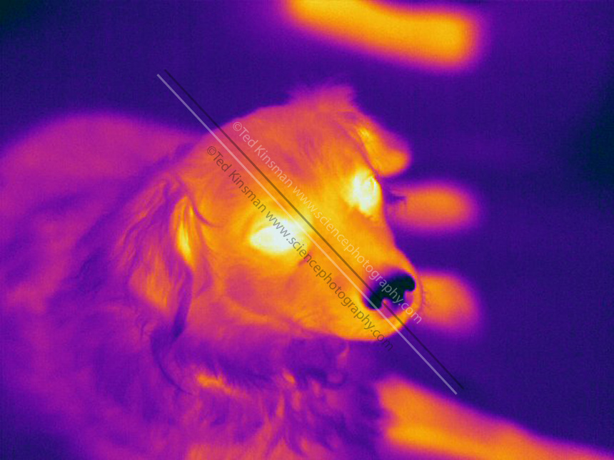 A Thermogram of a dog.  Note the dog's cold nose. The different colors represent different temperatures on the object. The lightest colors are the hottest temperatures, while the darker colors represent a cooler temperature.  Thermography uses special cameras that can detect light in the far-infrared range of the electromagnetic spectrum (900?14,000 nanometers or 0.9?14 µm) and creates an  image of the objects temperature..