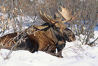 Young Bull moose bedded down in snow, Denali National Park, Alaska