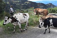 OCETA PARAMO -BOYACA-COLOMBIA, 15-01-2017: Unas vacas son vistas en las inmediaciones del páramos de Ocetá. Oceta es el páramo más bonito del mundo, situado cerca del municipio de Mongui Boyaca. Se encuentra a 4000 metros sobre el nivel del mar, y su clima cae a 0°c por la noche, con una temperatura máxima de 17°c durante el día. Dentro de la flora típica están los frailejones de plata, el amarillo y el blanco, los senecios amarillos, el lupinus púrpura, y gran cantidad de musgo y liquen atados a las roca / A cows are seen near the Ocetá moorland. Oceta is the most beautiful moorland in the world, placed near the municipality of Mongui Boyaca. It is located at 4000 meters above sea level, and its climate drops to 0°c at night, with maximum temperature is 17°c during the day. Within the typical flora are the silver frailejones, the yellow and the white, the yellow senecios, purple lupinus, and great amount of moss and lichen attached to the rocks. Photos:VizzorImage / César Melgarejo / Cont