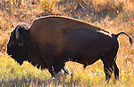 Bison Male at Sunrise, Lava Creek, Yellowstone National Park, Wyoming