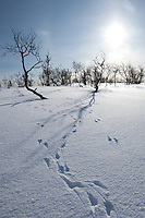 Animal pawprints in the snow in arctic landscape at Kvaløysletta, Kvaloya Island, Tromso in Arctic Circle Northern Norway