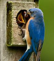 Songbirds & Warblers