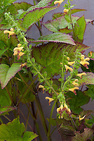 Salvia flava var. megalantha aka incorrectly Salvia bulleyana. yellow flowers