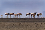 Wildebeests seen through shimmer of heat waves, Lake Manyara National Park, Tanzania
