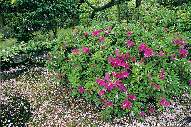 In the Japanese garden, bloomng azeleas are often surrounded with cherry blossom petals as the end of April and early May nears.