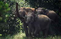 A trio of elephants raise their trunks in unison, thereby demonstrating their alarm.