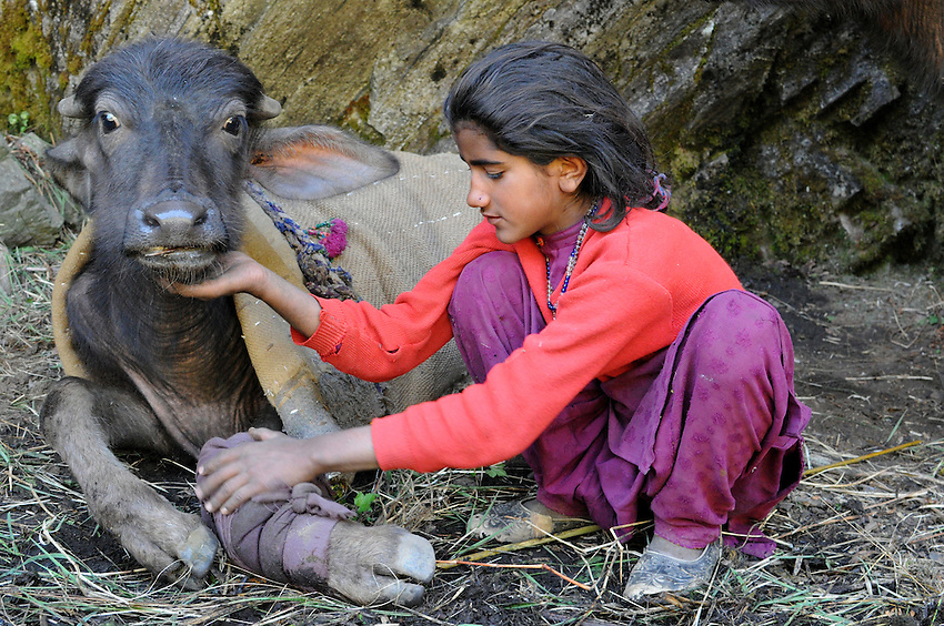 Bashi, 12 years old, comforts a wounded buffalo yearling whose leg was shattered by a falling tree, which washed over a cliff during a torrential rainstorm. This occured at the base of the final ascent to reach the high pass that would lead to their alpine summer pasture.