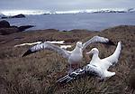Wandering albatross courtship