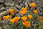 California poppies, Eschscholzia californica, Mount Diablo State Park, California