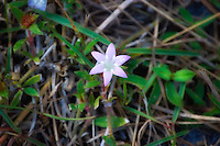 This small clover can be found in many places - especially lawns. It can spread in to vast carpets of tiny pale pink flowers that can almost look like snow!