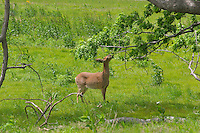 deer in meadow grass eating leaves