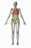 Biomedical illustration of a human in frontal view showing the lungs, digestive, and skeletal systems