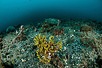Yellow Lacy scorpionfish (Rhinopias aphanes).