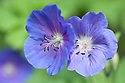 Geranium 'Johnson's Blue', late April.
