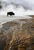 Bison are a classic winter subject in Yellowstone.