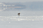 Bald eagle walking the clear ice in the middle of Onondaga lake looking for food.  Good thing it has retractible glass cutters.