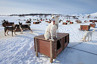 Alaskan Husky dogs at kennels at Villmarkssenter wilderness on Kvaloya Island, Tromso in Arctic Circle Northern Norway