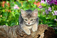 Tabby kitten in shade garden on a log, midwest USA
