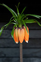 Crown imperial (Fritillaria imperialis 'Rubra'), late March.