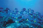 Galapagos Surgeonfish, Isla Fernandina, Galapagos Islands, Ecuador