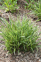 Ornamental Grass Carex morrowii 'Ice Dance'