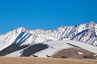 Four mustangs, alpine peaks, central Idaho