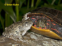 1R24-9035  Eastern Gray Treefrog - with painted turtle - Hyla chrysoscelis or Hyla versicolor, © Brian Kuhn/Dwight Kuhn Photography