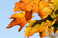 Maple Leaves in Autumn against Clear Morning Sky
