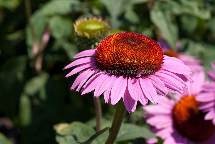 Echinacea purpurea Mars, purple coneflower macro, native American wildflower medicinal plant