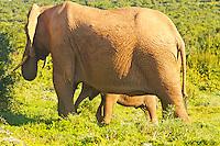 Port Elizabeth, South Africa (Sunday, July 17, 2011) -Elephant cow with calf.  Addo Elephant National Park. The park is a sanctuary to a multitude of game species and abundant birdlife including over 500 Elephants, Lions, Black Rhinos, Buffalos, Leopards and Zebra.  Photo: joliphotos.com