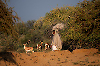 Bishnoi man walk passes through a group of Chinkaras in a forest area near Jodhpur, Rajasthan, India. Bishnois are sect of people who religiously protect natur and they are the original ecologists from India. Arindam Mukherjee