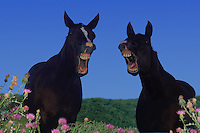 Two mules laughing