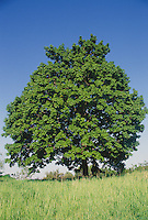 Sugar maple tree, Acer saccharum, in summer