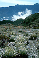 Wet tropical alpine vegetation called Paramo in South America with Espeletia sp. (Asteraceae) in Cordillera de los Andes mountain range, Merida State, Venezuela.