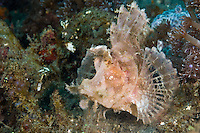 Weedy Scorpionfish, Lembeh Strati, Sulawesi, Indonesia. The Lembeh Strait in N Sulawesi is famous for its unusually high marine biodiversity, particularly of unusual animals that live on the exposed sand areas.