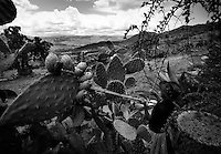 Ayacucho, Peru, Jan., 31, 2007 - Teofila Huaman Oré works to pick prickly pears from cactus in the mountains above Ayacucho. The fruit, which are sold in towns throughout the Andes,  are a staple crop for many too poor to own their own farm.