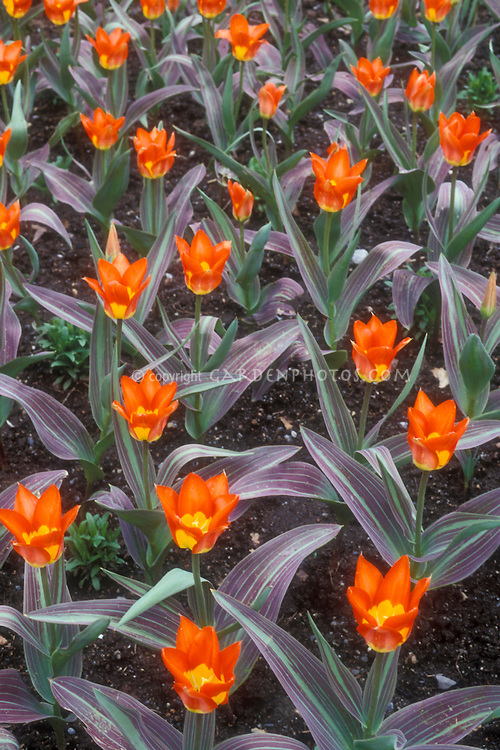 Tulip 'Juan' with striped variegated foliage and orange flowers in spring bulb bloom