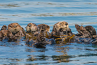 Southern Sea Otters (Enhydra lutris nereis) rafting in kelp.  Being wrapped up in kelp helps otter keep from drifting away with the tide/current/wind as it rests.  Central California Coast.