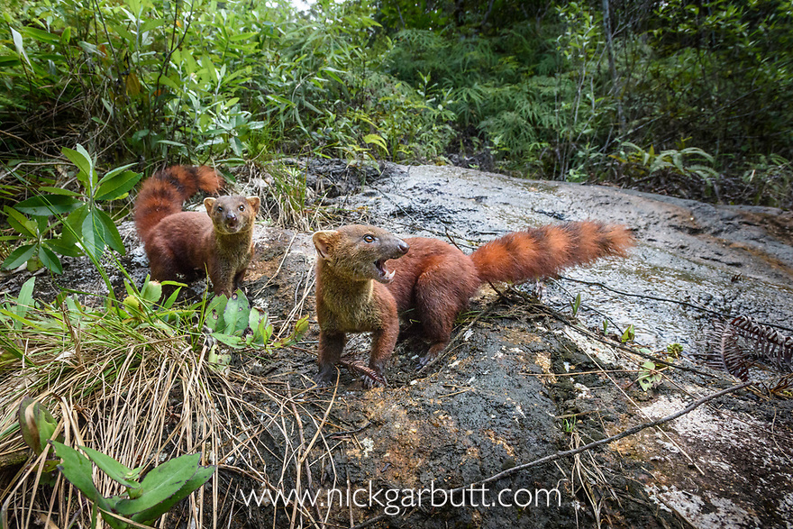 Eastern Ring-tailed Vontsira (Galidia elegans elegans) (family Eupleridae)(formerly Eastern Ring-tailed Mongoose) foraging in forest clearing. Marojejy National Park,  north east Madagascar.