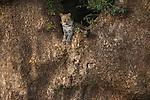 Leopard, Mashatu Reserve, Botswana