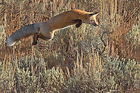 The red fox (Vulpes vulpes) primarily feeds on small rodents, though it may also target game birds, reptiles,  and young ungulates. Fruit and vegetable matter is also eaten on occasion.