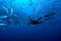 Schooling Bigeye Jacks and Diver
