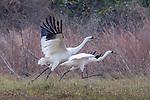 USA, Texas, Aransas Bay, whooping crane (Grus americana)