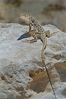 437880013 a wild long-nosed leopard lizard gambelia wislizenii sits on a rock along fish slough road in mono county california