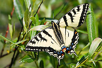 Swallowtail butterfly perched on a small willow tree