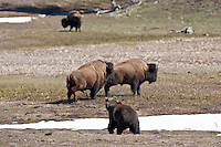 Grizzly bear,  Wyoming chasing bison in Yellowstone